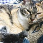 (ΦωΦ)明後日(11月6日)発売の猫の本・書籍・カレンダー (ΦωΦ)
